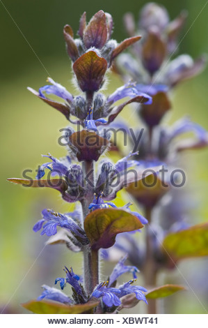 Blue bugle, Bugleherb, Bugleweed, Carpetweed, or Common bugle (Ajuga reptans) - Stock Photo