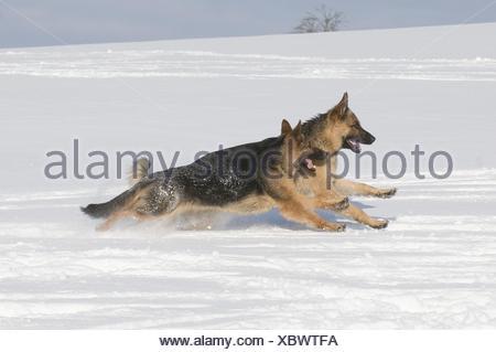 German Shepherds in snow - Stock Photo