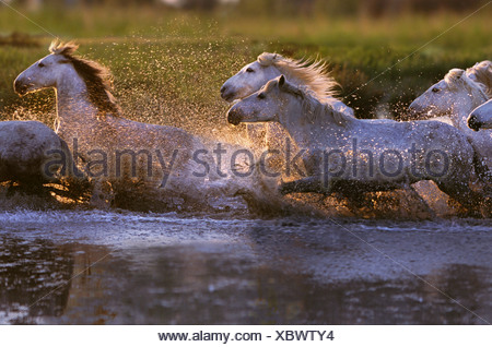 White horses of the Camargue running through water France - Stock Photo