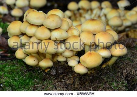 Conifer Tuft, Smoky Gilled Naematoloma (Psilocybe capnoides, Hypholoma capnoides) lots of fruiting bodies of this edible mushroom - Stock Photo