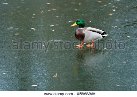 Mallard (Anas platyrhynchos), drake, walking on ice, Cham, Switzerland - Stock Photo