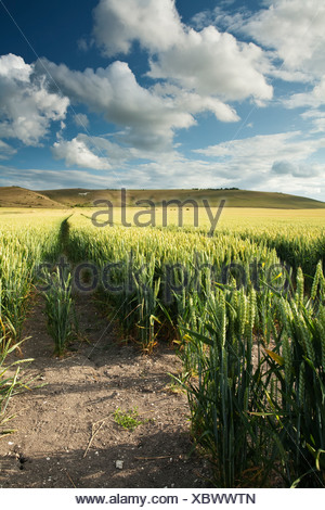Milk Hill on the Pewsey Downs in Wiltshire near Marlborough Uk - Stock Photo