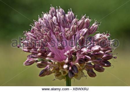 zijaanzicht close up van bloeiwijze met bloemen, zonder bolletjes - Stock Photo