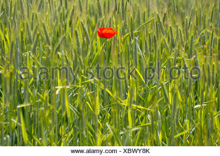 Single Poppy flower (Papaver rhoeas) in a cornfield, Canton of Thurgau, Switzerland - Stock Photo