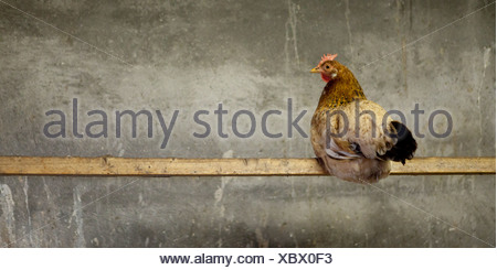 Free range Chicken on post, Iceland - Stock Photo