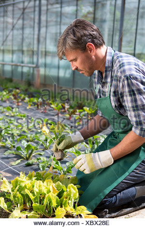 Organic farmer tending young plants in polytunnel - Stock Photo