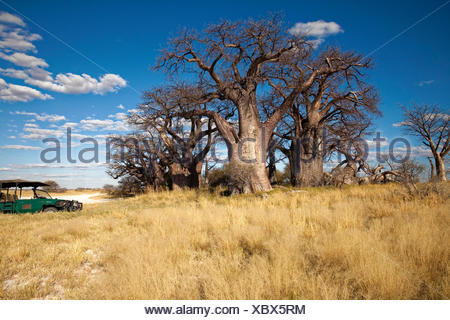 Group of ancient baobab (Adansonia digitata) trees, Baines Baobabs, Nxai Pan National Park, Botswana - Stock Photo