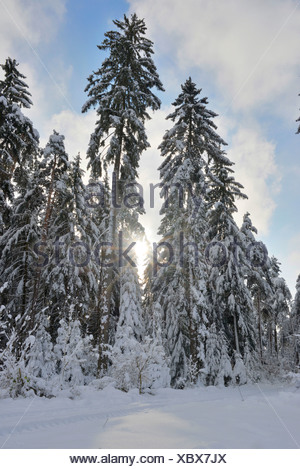 Norway spruce (Picea abies), snow-covered spruce, Germany, Bavaria, Oberpfalz - Stock Photo