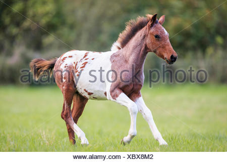 Lewitzer Pony Leopard-spotted foal galloping pasture Germany - Stock Photo