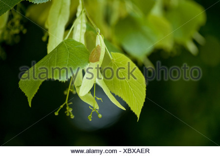 large-leaved lime, lime tree (Tilia platyphyllos), twig with young fruits, Germany - Stock Photo