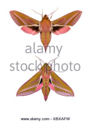 69.016 (1991) Elephant Hawk-moth - Dielepis elpenor - Stock Photo