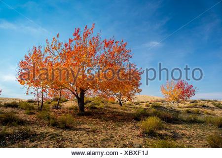 Autumn tree, Xinjiang, China - Stock Photo