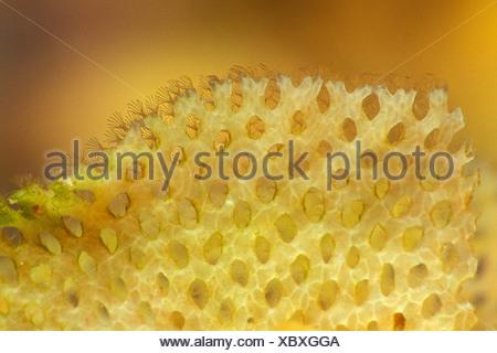 Detail of Neptun Net Coral, Reteporella couchii, Susac, Dalmatia, Adriatic Sea, Croatia - Stock Photo