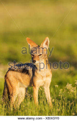 Black-backed Jackal (Canis mesomelas), standing in grassland, Kalahari Desert, Kgalagadi Transfrontier Park, South Africa - Stock Photo