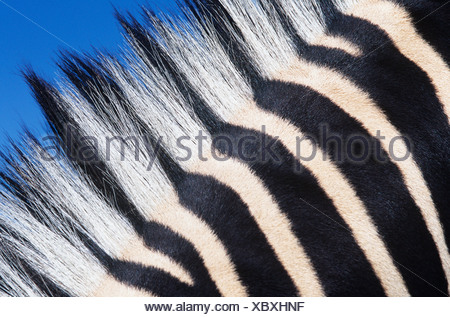 Zebras maine, close-up - Stock Photo