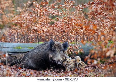 wild boar, pig, wild boar (Sus scrofa), wild sow with shoats in autumn forest, Germany, North Rhine-Westphalia - Stock Photo