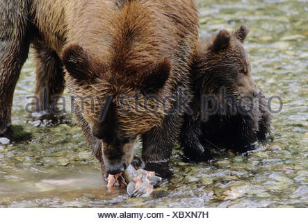 Grizzly Bear (Ursus arctos horribilis) Adult Female & Young who will remain with her for up to three years. Summer Alaska - Stock Photo