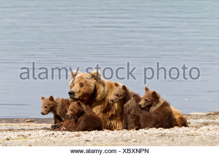 A Brown Bear Sow rests with 4 of her spring cubs on the beach of Naknek Lake, Brooks Camp, Katmai National Park, Alaska - Stock Photo