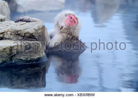 Japanese Macaque or Snow Monkey (Macaca fuscata), taking a bath in a hot spring, Affenpark Jigokudani, Nagano Präfektur, Japan - Stock Photo