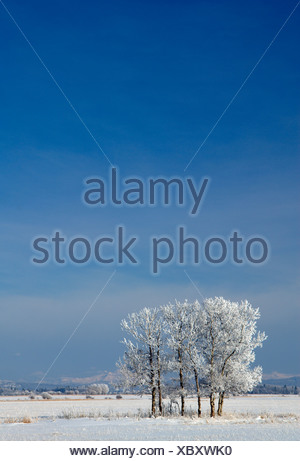 Frosted trees near Water Valley, Alberta, Canada - Stock Photo