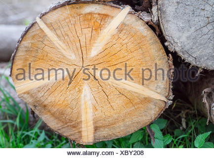 Norway spruce (Picea abies), trunk, cross section, Germany, Bavaria, Oberbayern, Upper Bavaria - Stock Photo