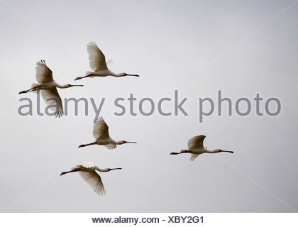 Flock of birds flying against sky, Mana Pools National Park, Mashonaland North Province, Zimbabwe - Stock Photo