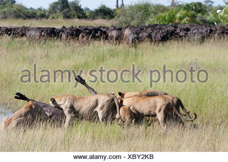 Female South African lions feeding on a freshly killed Cape buffalo. - Stock Photo