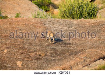 Indian leopard walking on rocks - Rajasthan India - Stock Photo