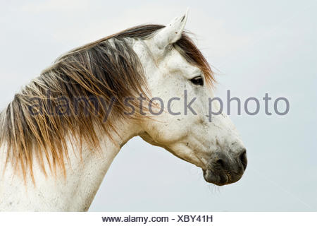 Lusitano horse, gelding, white horse, Andalusia, Spain - Stock Photo