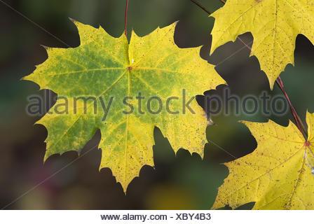 Herbstfarben, Autumn colours - Stock Photo
