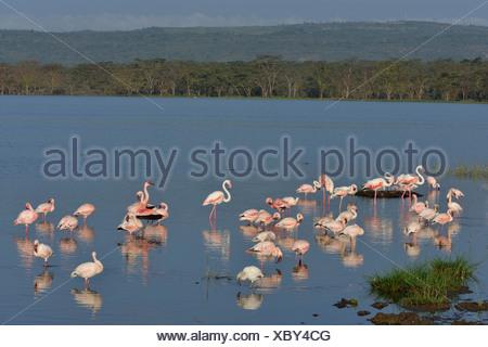 Lesser Flamingo (Phoenicopterus minor), flock of flamingoes in Lake Nakuru, Lake Nakuru National Park, near Nakuru - Stock Photo