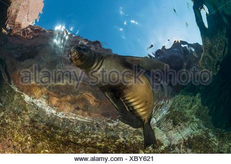 California Sea Lion Pup, Zalophus californianus, La Paz, Baja California Sur, Mexico - Stock Photo