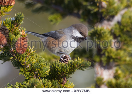 Close up of a Boreal Chickadee perched on a Hemlock bough, Chugach Mountains, Southcentral Alaska, Winter - Stock Photo