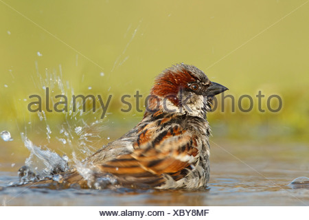 House Sparrow (Passer domesticus) in water - Stock Photo