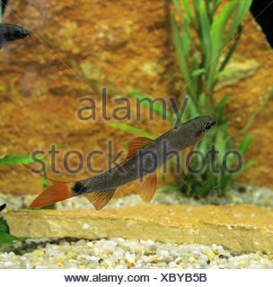 Bicolor Labeo, epalzeorhynchos erythrurus, Young Fish - Stock Photo