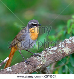 Cape robin chat (Cossypha caffra), sits in a bush, South Africa, Western Cape, Bontebok National Park - Stock Photo