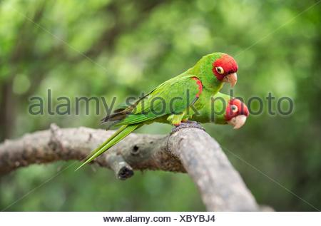 Red-masked parakeets (Psittacara erythrogenys), True parrots family (Psittacidae), Jorupe Biological Reserve, tropical dry forest, Western Andean - Stock Photo