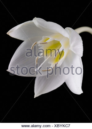 Eucharis grandiflora, Amazon lily, White, Black. - Stock Photo