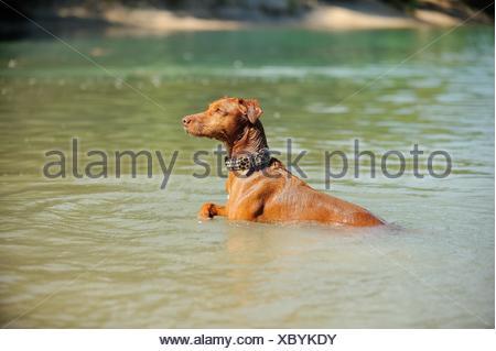 Podenco Canario in the water - Stock Photo