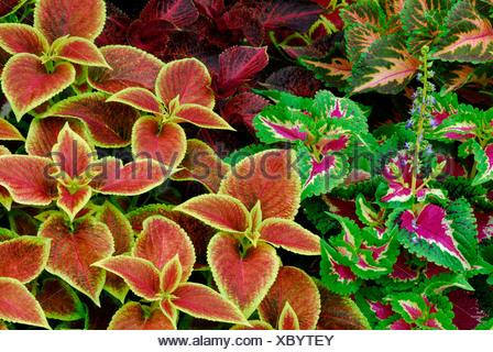 Solenostemon scutellarioides - Stock Photo