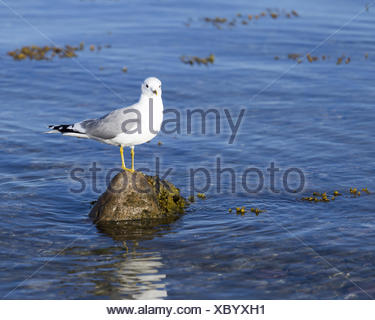 A seagull standing on a stone - Stock Photo