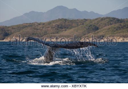 Humpback Whale (Megaptera novaeangliae) off the coast of Puerto Vallarta - Stock Photo