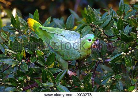 Muelleramazone, Mueller-Amazone (Amazona farinosa), bei der Nahrungssuche auf einem Strauch, Costa Rica | Mealy amazon, Mealy pa - Stock Photo