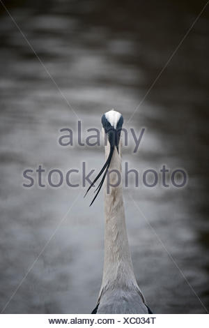 Grey Heron Ardea cinerea in Regents Park Central London UK - Stock Photo