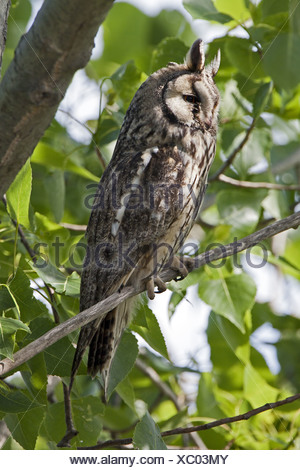 Long-eared Owl, Asio otus - Stock Photo