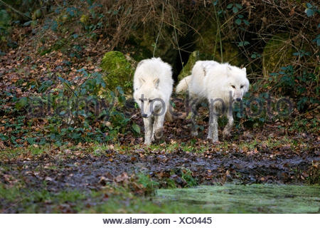 Arctic Wolf, canis lupus tundrarum, Adults walking to Water Hole - Stock Photo