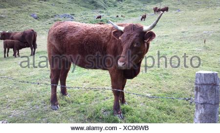 Salers Cows On Grassy Field - Stock Photo