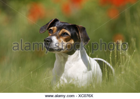 Danish Swedish Farmdog - standing on meadow - Stock Photo