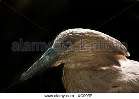 The Hamerkop Scopus umbretta, also known as Hammerkop, Hammerkopf, Hammerhead, Hammerhead Stork, Umbrette, Umber Bird, Tufted Umber, or Anvilhead - Stock Photo