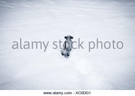 Adorable dog pup playing outside in the very deep snow. - Stock Photo